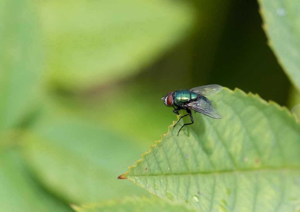 Post your Insect shots-fly.jpg