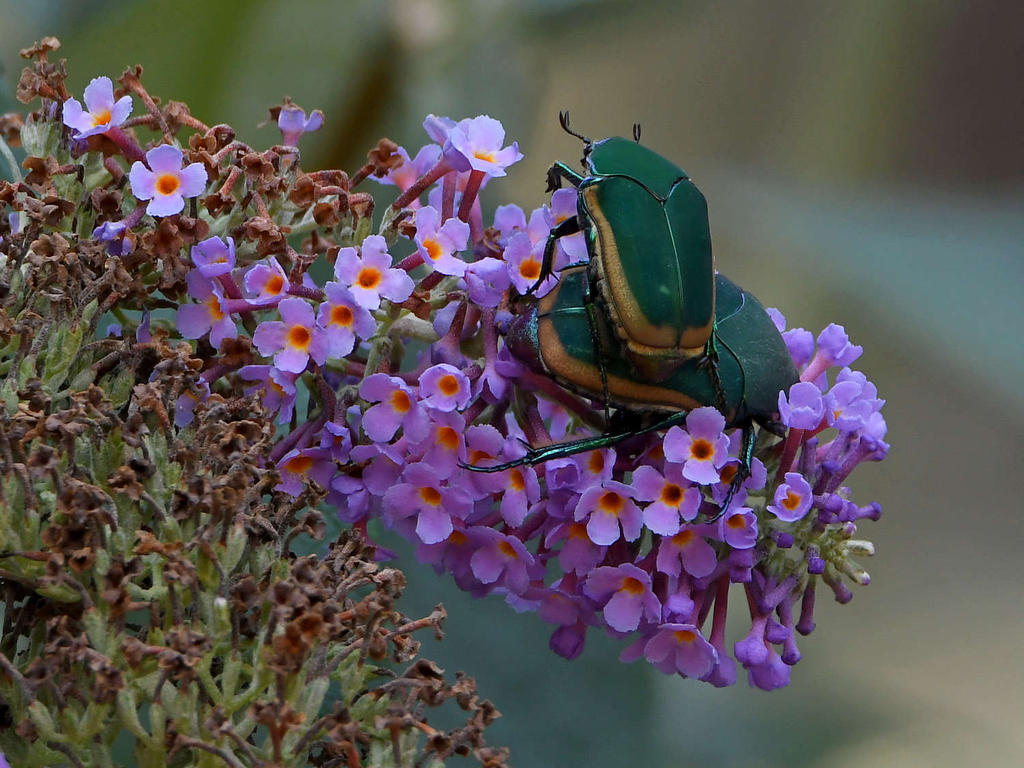 Post your Insect shots-scarab.jpg