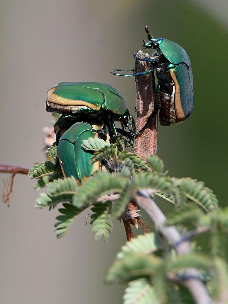 Post your Insect shots-scarab3.jpg