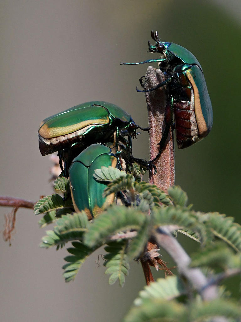 Post your Insect shots-scarab4.jpg