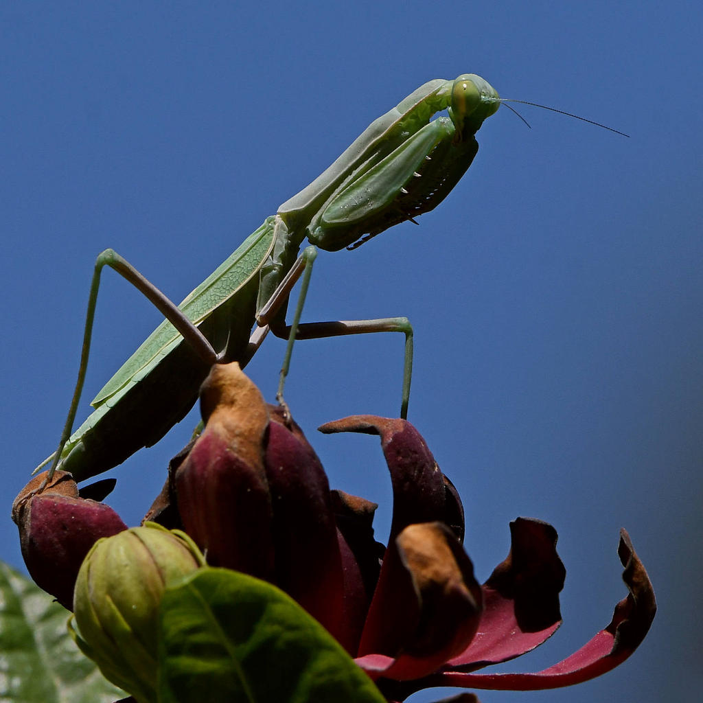 Post your Insect shots-mantis3.jpg