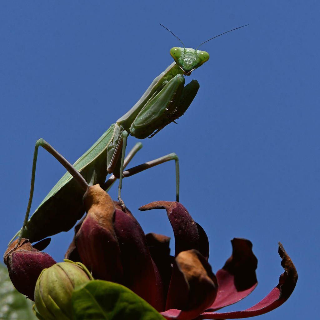 Post your Insect shots-mantis4.jpg