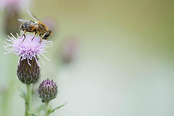 Insects with non macro lenses-bee.jpg