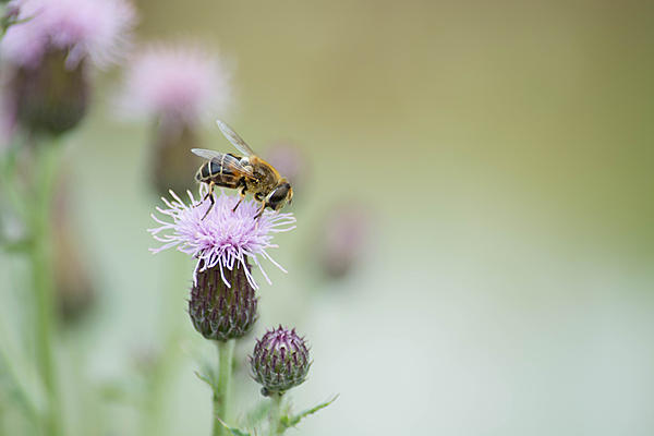 Insects with non macro lenses-bee2.jpg