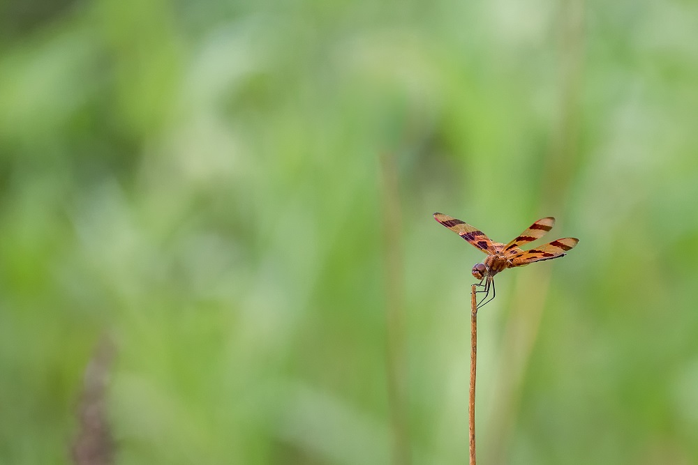 Insects with non macro lenses-_dsc6541-edit.jpg