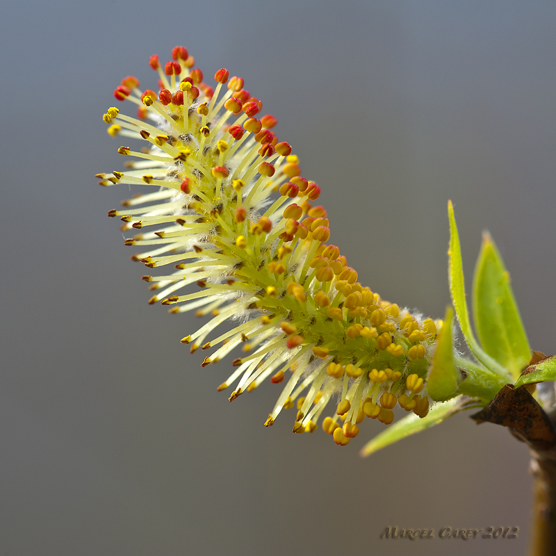 Post your macro photos here-catkin.jpg