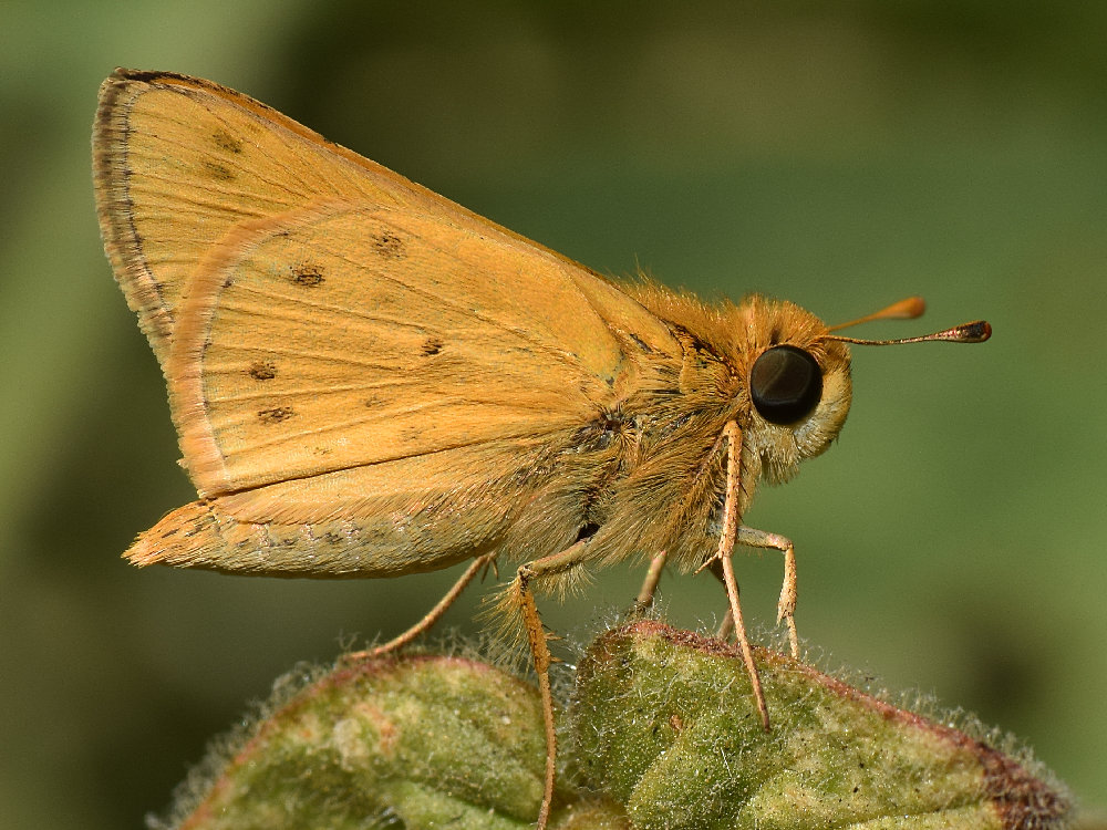 Post your macro photos here-skipper2.jpg