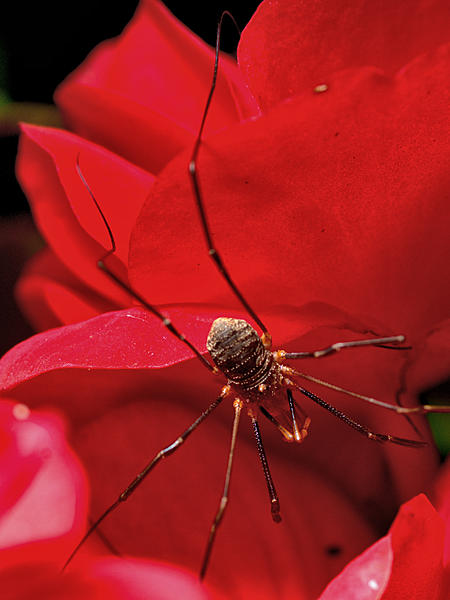 Off Camera Flash for Macro-daddy-long-legs-dsc_4614-1.jpg