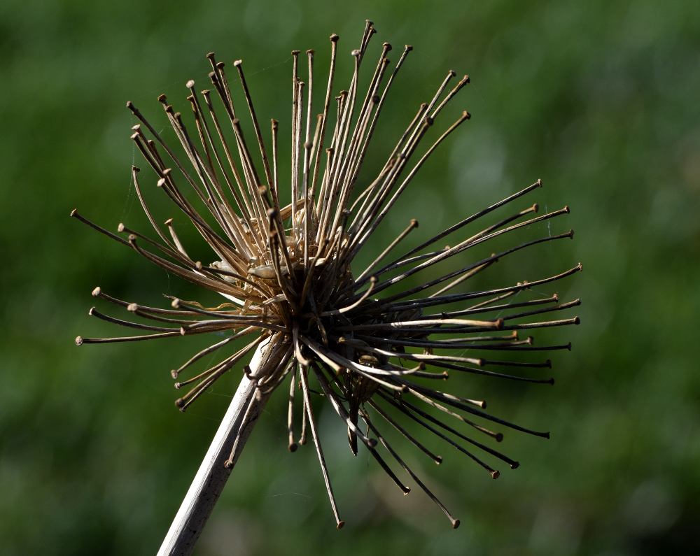 Post your seed head-roy_8487_01.jpg