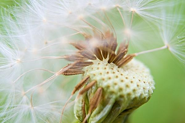 Post your seed head-zsc_5648d.jpg