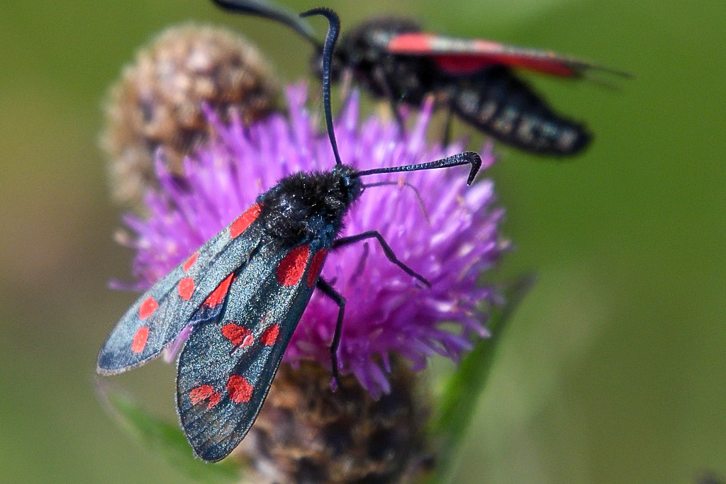 Insects with non macro lenses-dsc_1999_020_35762245790_o.jpg