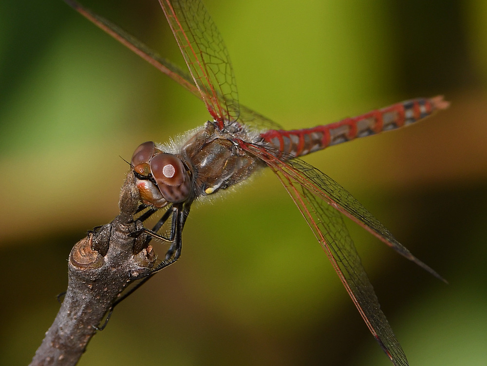Insects with non macro lenses-dragonfly4.jpg