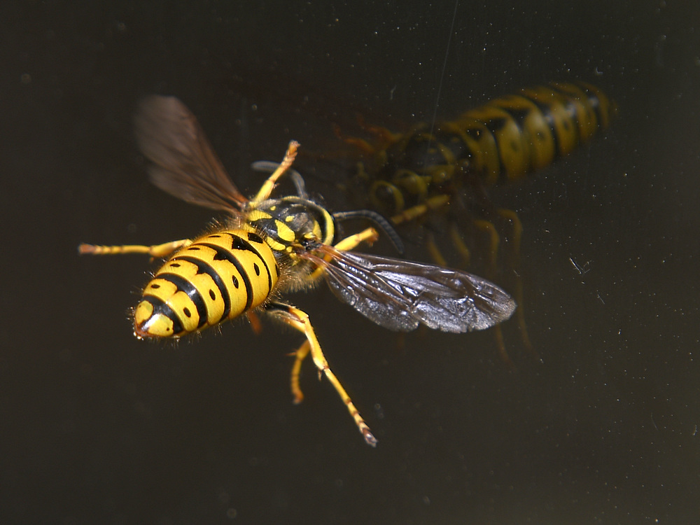 Insects with non macro lenses-wasp.jpg