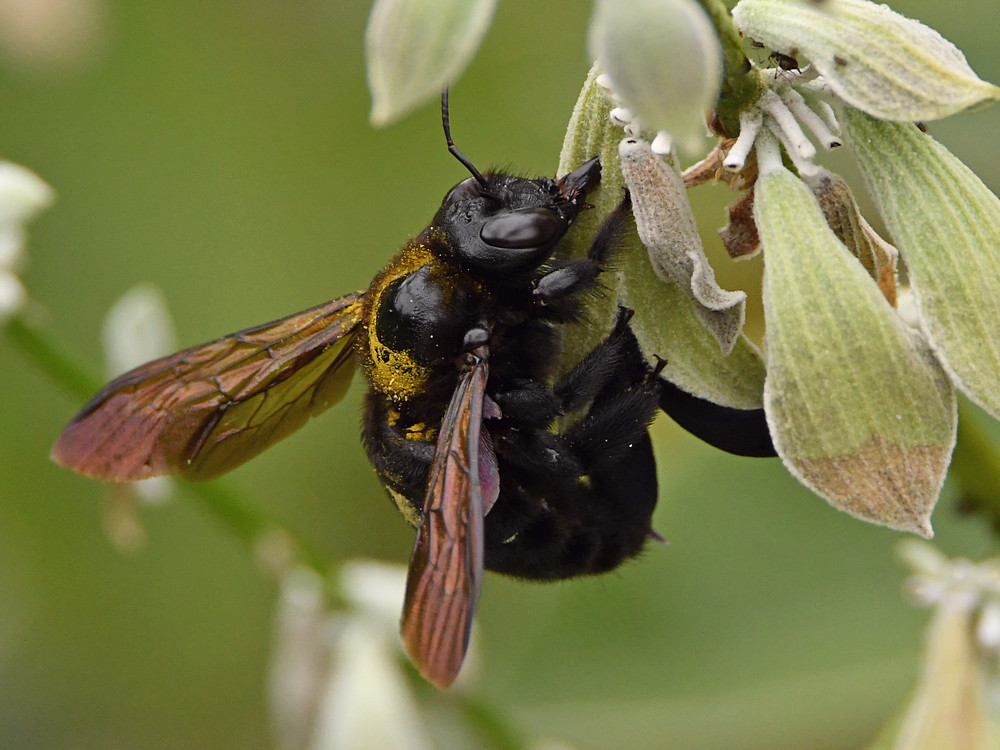 Insects with non macro lenses-bee4.jpg