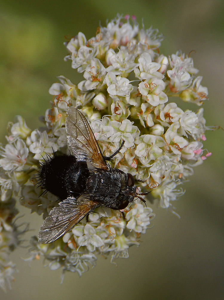 Insects with non macro lenses-fly4.jpg