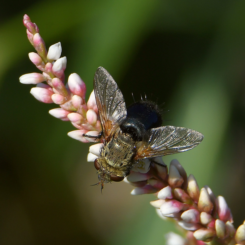Insects with non macro lenses-fly2.jpg