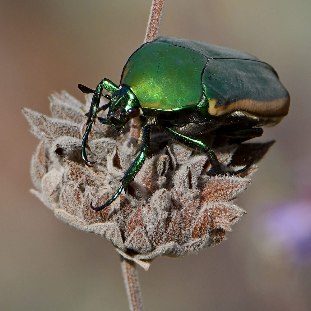 Insects with non macro lenses-beetle4.jpg