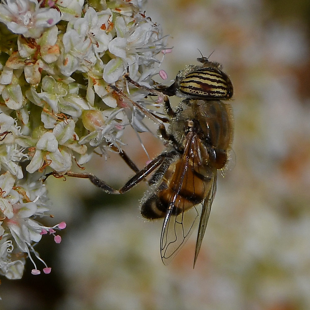 Insects with non macro lenses-dronefly4.jpg