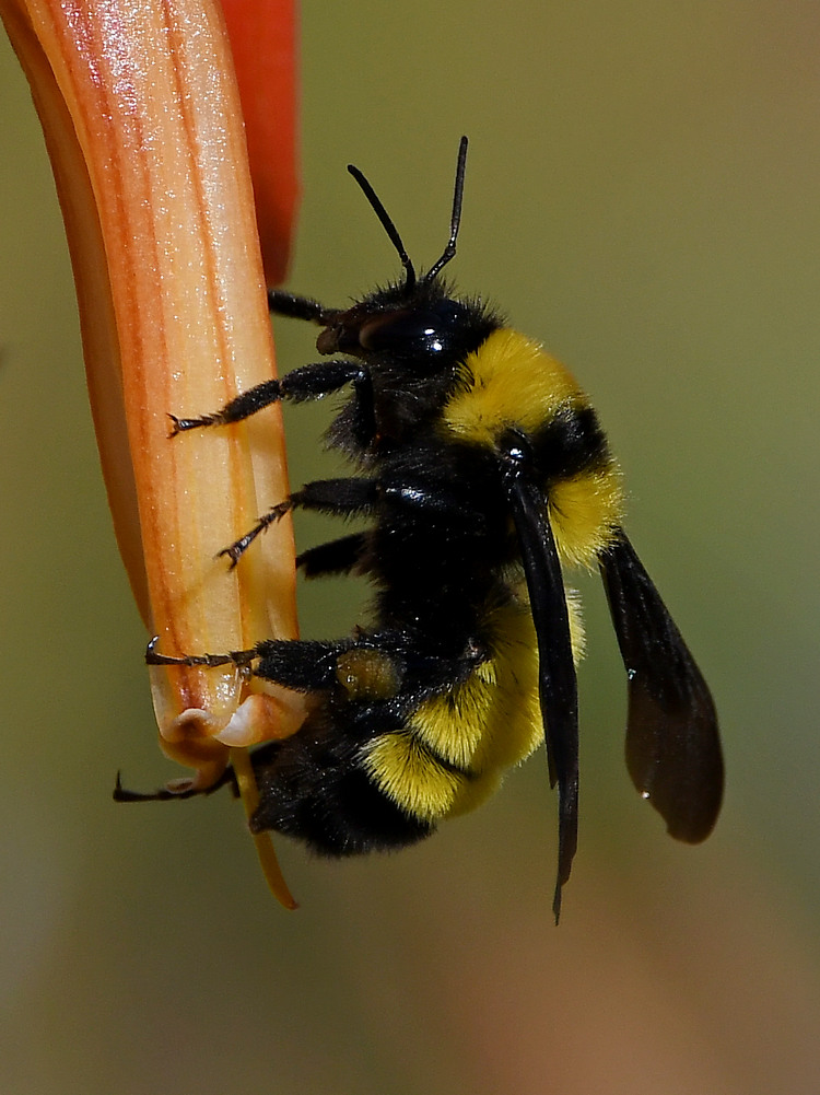 Insects with non macro lenses-bee9.jpg