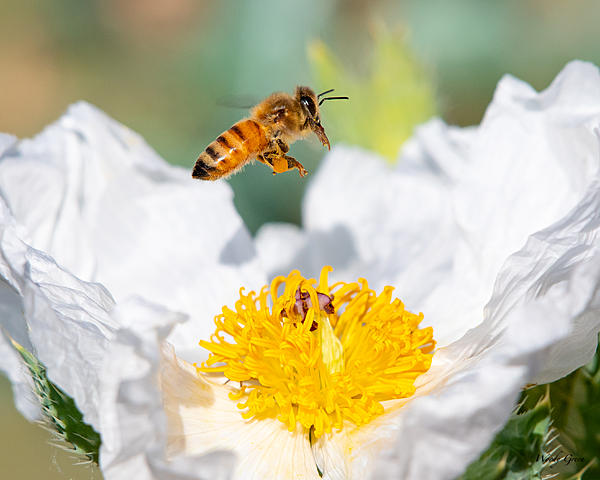 Insects with non macro lenses-bees-410.jpg