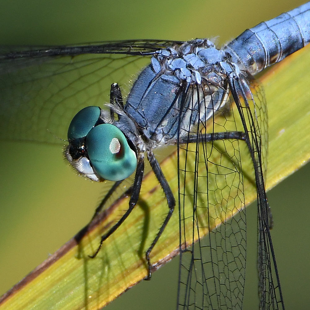 Insects with non macro lenses-dragonfly2.jpg