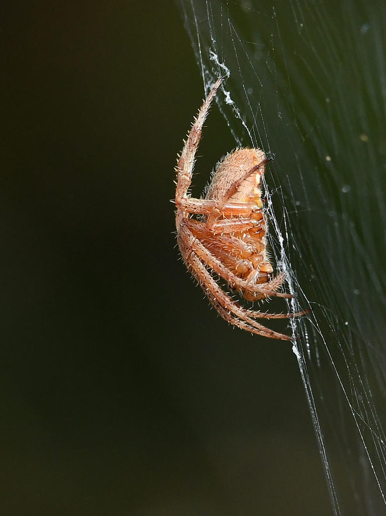 Insects with non macro lenses-spider2.jpg