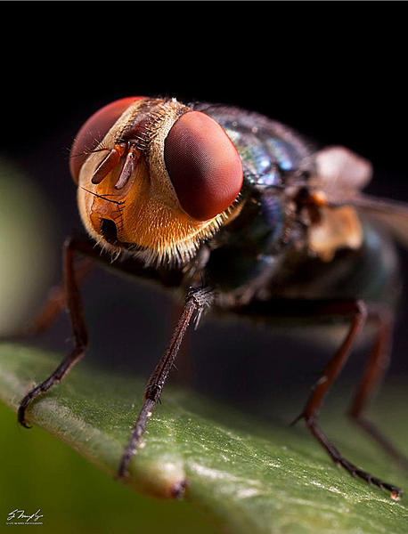Insects with non macro lenses-housefly.jpg