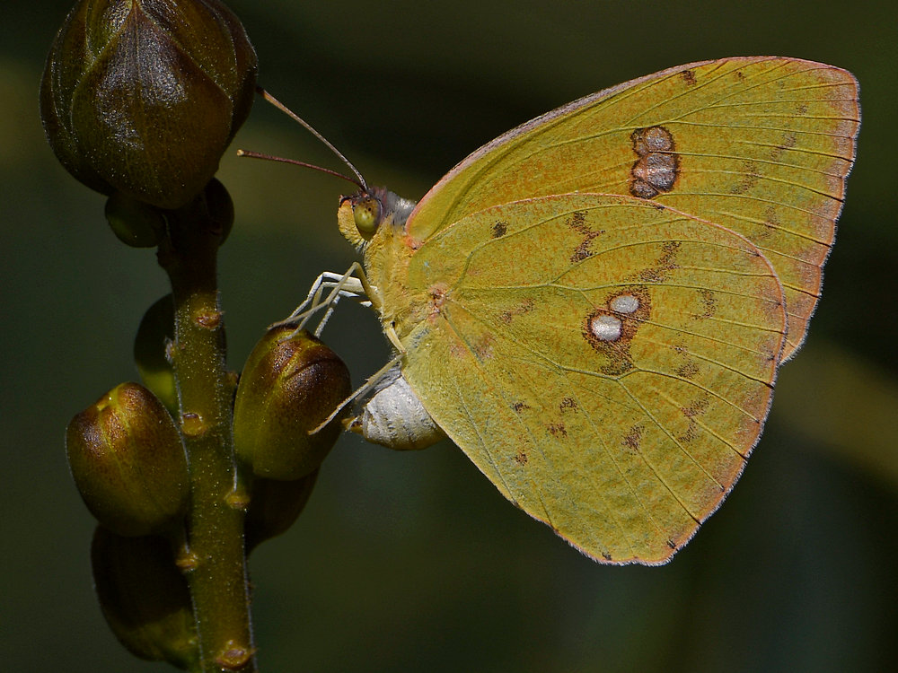 Insects with non macro lenses-sulferwing5.jpg