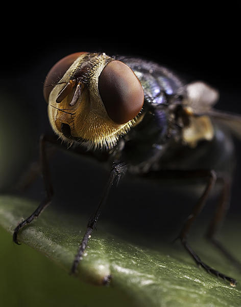 Post your macro photos here-housefly1500.jpg