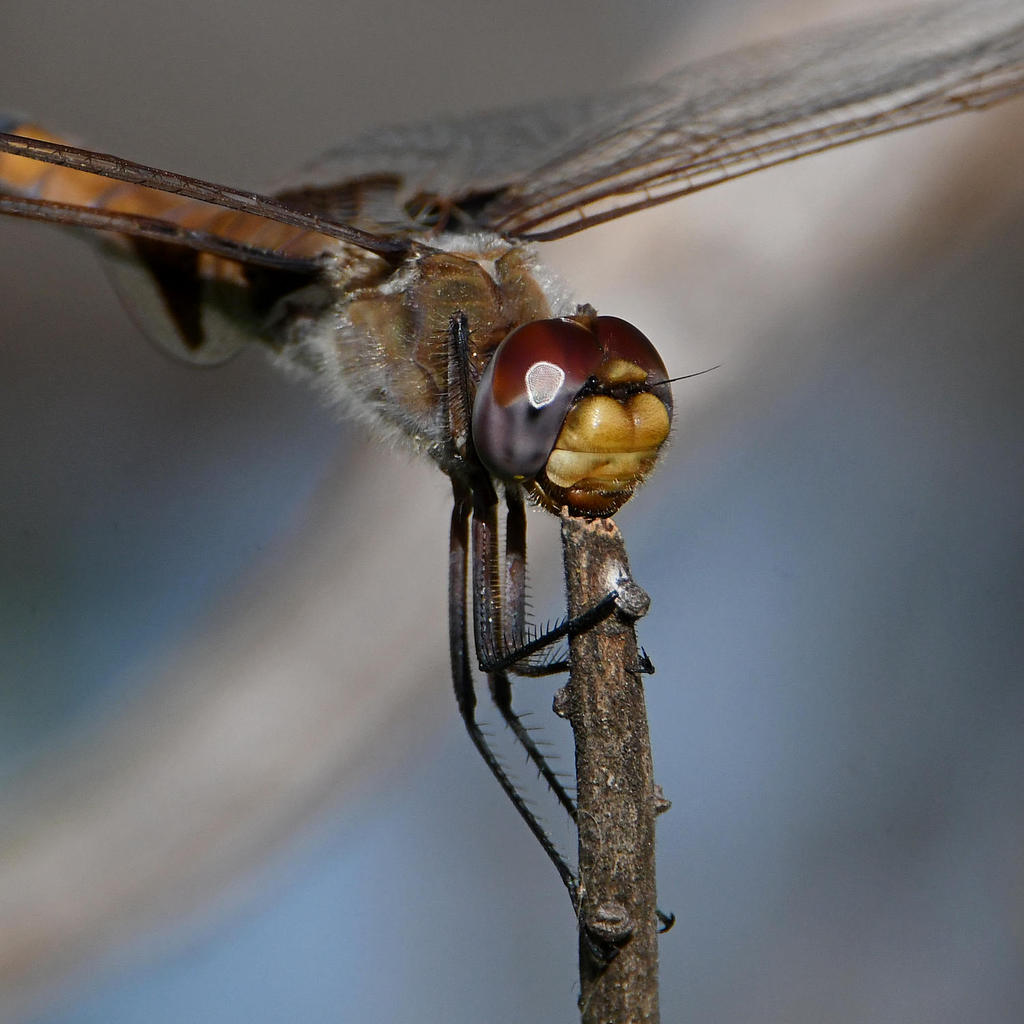 Insects with non macro lenses-dragonfly5.jpg