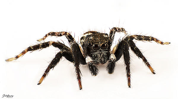 Female Twin Flagged Jumping Spider-twin-flagged-jumping-spider.jpg