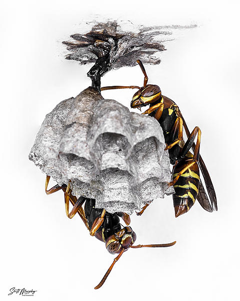 Two red paper wasps building a nest-stm_5045.jpg