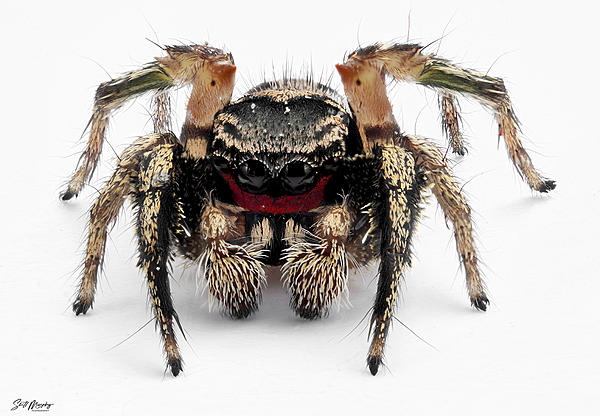 Red Faced Jumping Spider-red-faced-jumping-spider.jpg