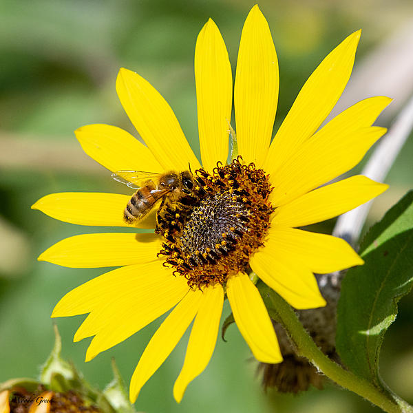 Insects with non macro lenses-beesunflower-502.jpg