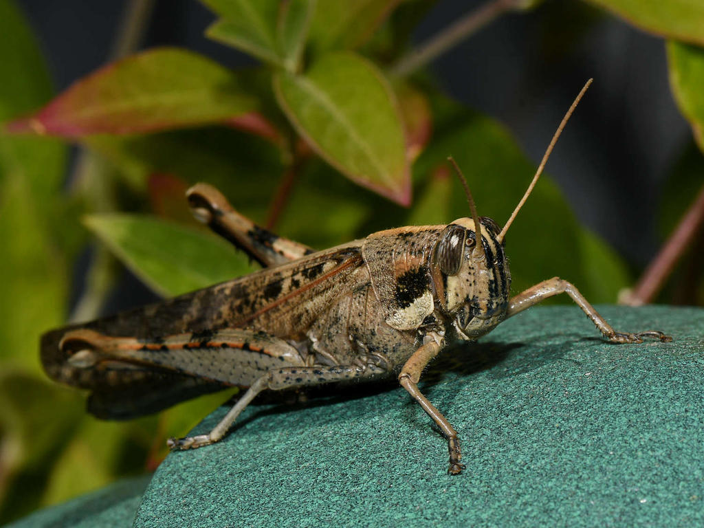 Post your macro photos here-grasshopper.jpg