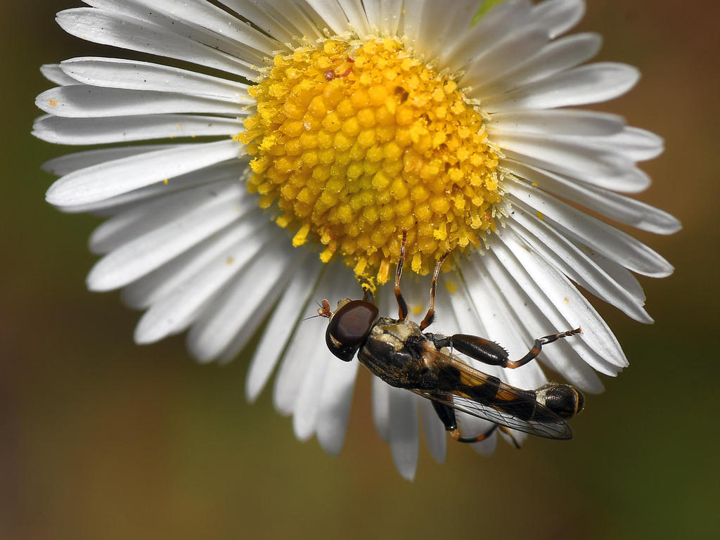 Post your macro photos here-hoverfly2.jpg