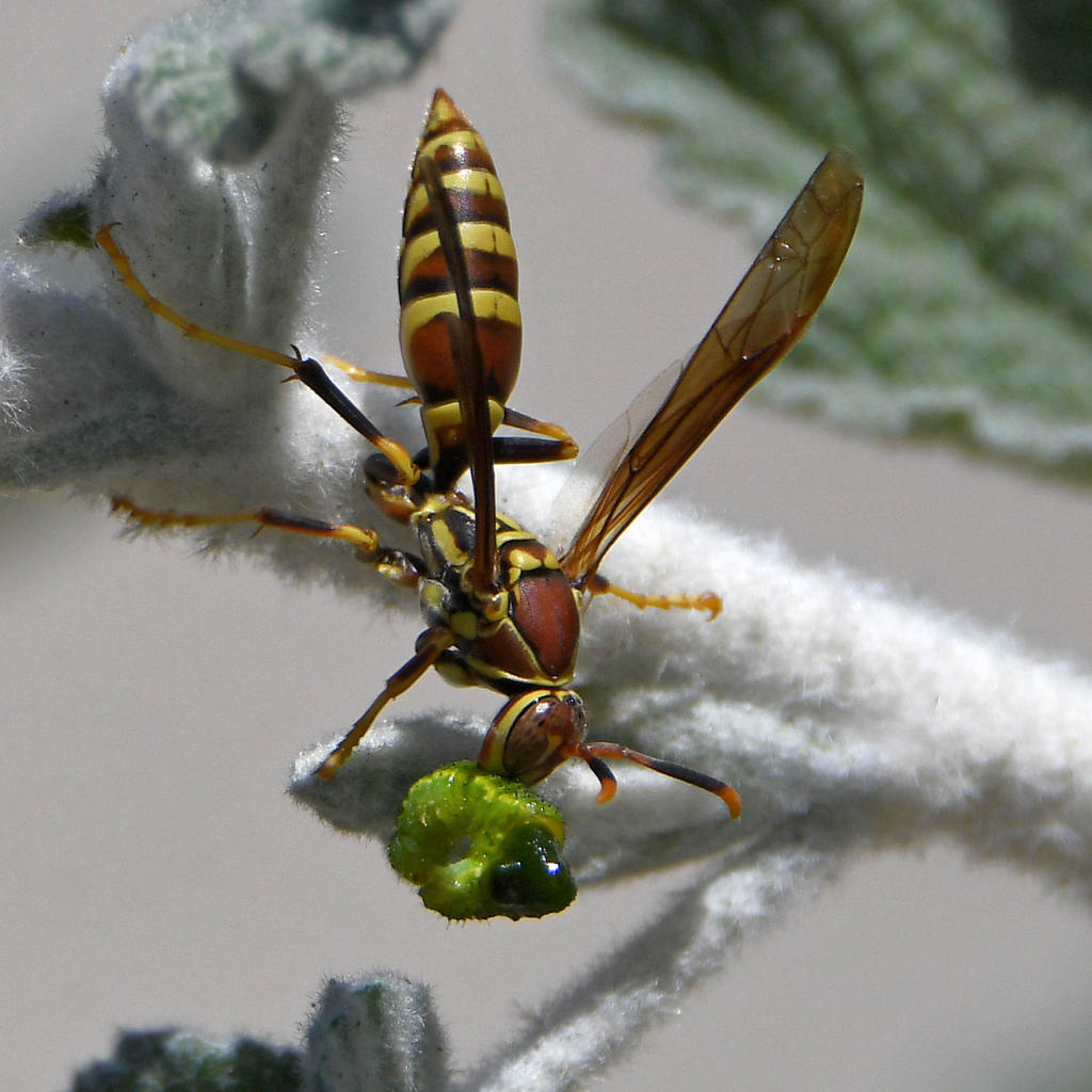 Insects with non macro lenses-wasp2.jpg
