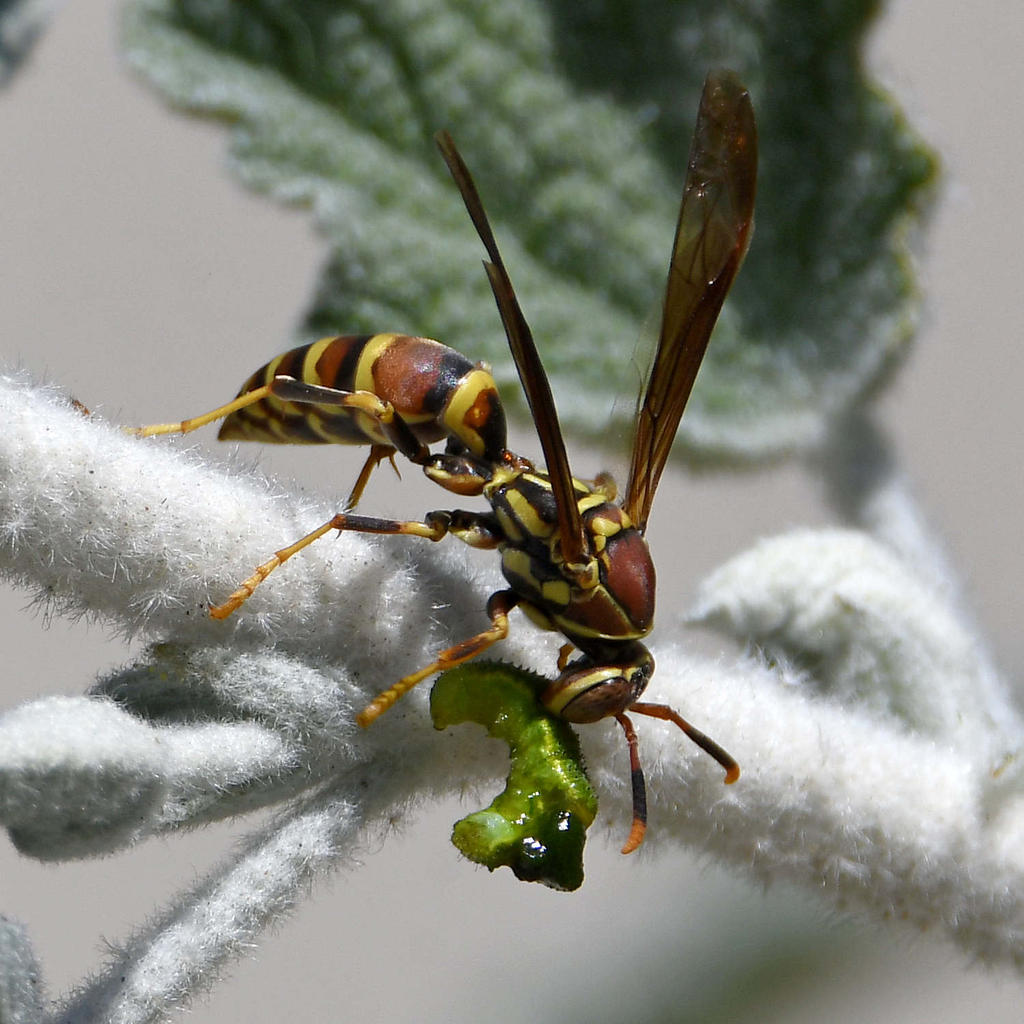Insects with non macro lenses-wasp3.jpg