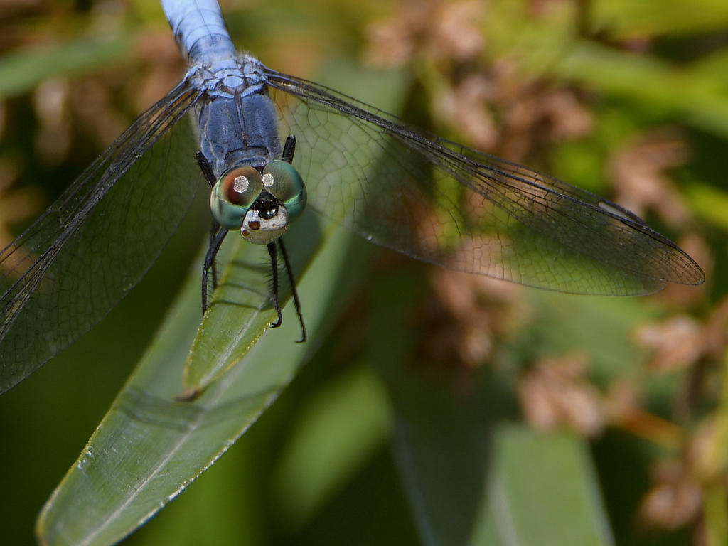 Insects with non macro lenses-dragonfly3.jpg