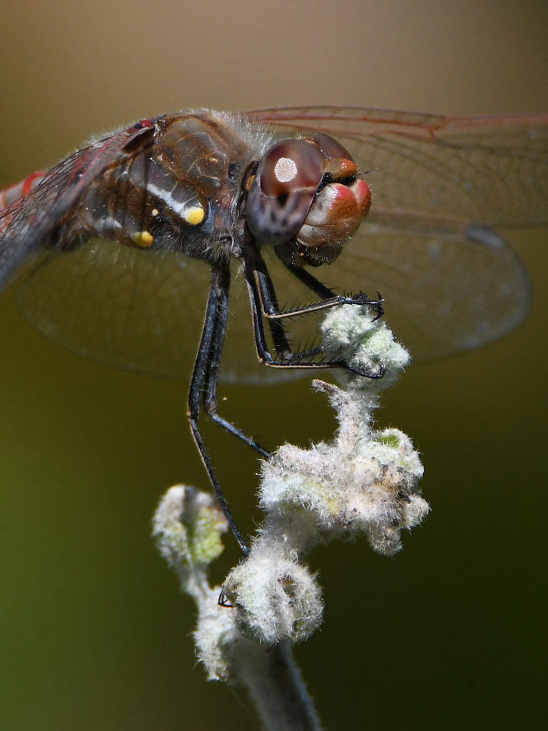 Insects with non macro lenses-dragonfly8.jpg