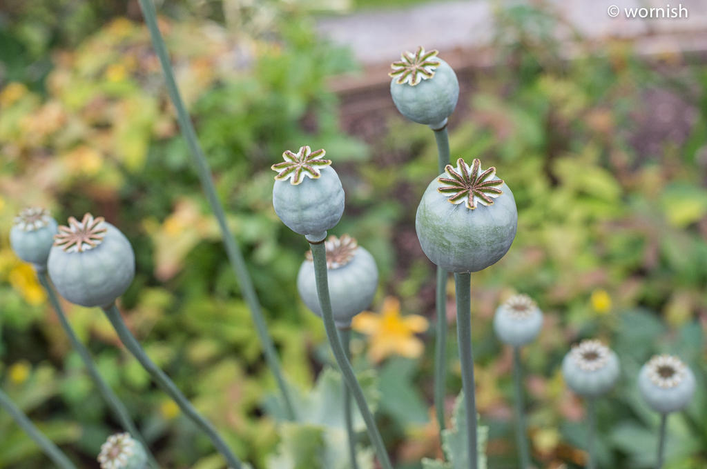 Post your seed head-poppy-seed.jpg