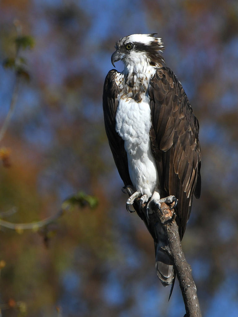 March 2021 Monthly Assignment: Bokeh-osprey.jpg