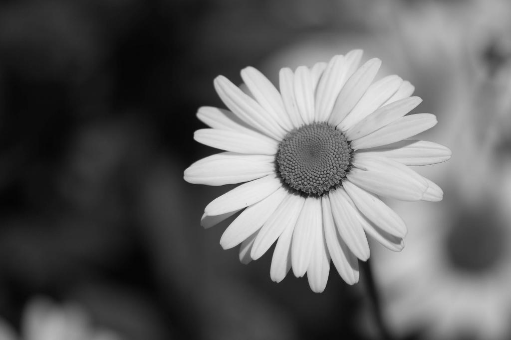 still life photography black and white flowers www