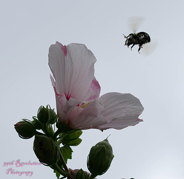 New to Nikon Photography-bee-meets-flower.jpg