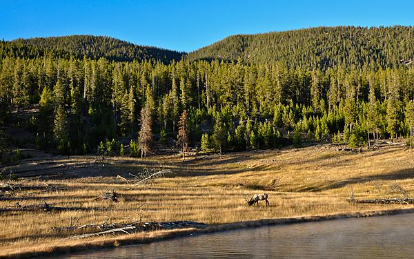 Elk in Yellowstone-reeditedyellowstone452.jpg