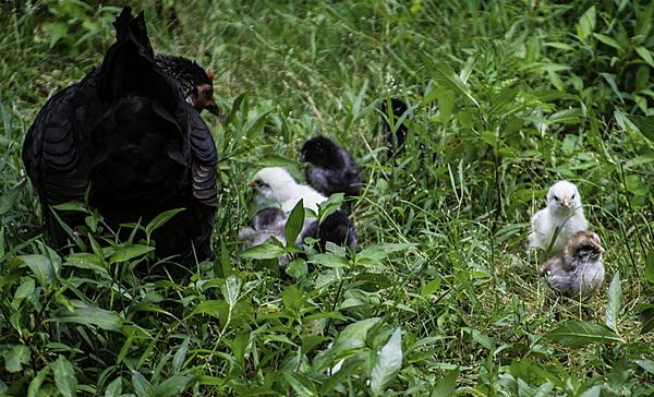 Black chicken came home with 8 babies-_dsc4455-1024x621-.jpg