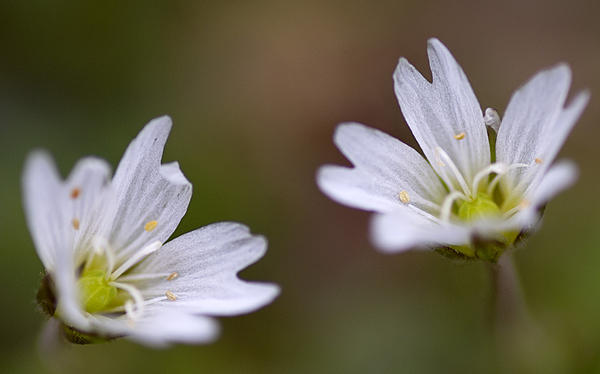 Post your Tokina 100mm Macro lens shots.-akr_3861cerastium.jpg
