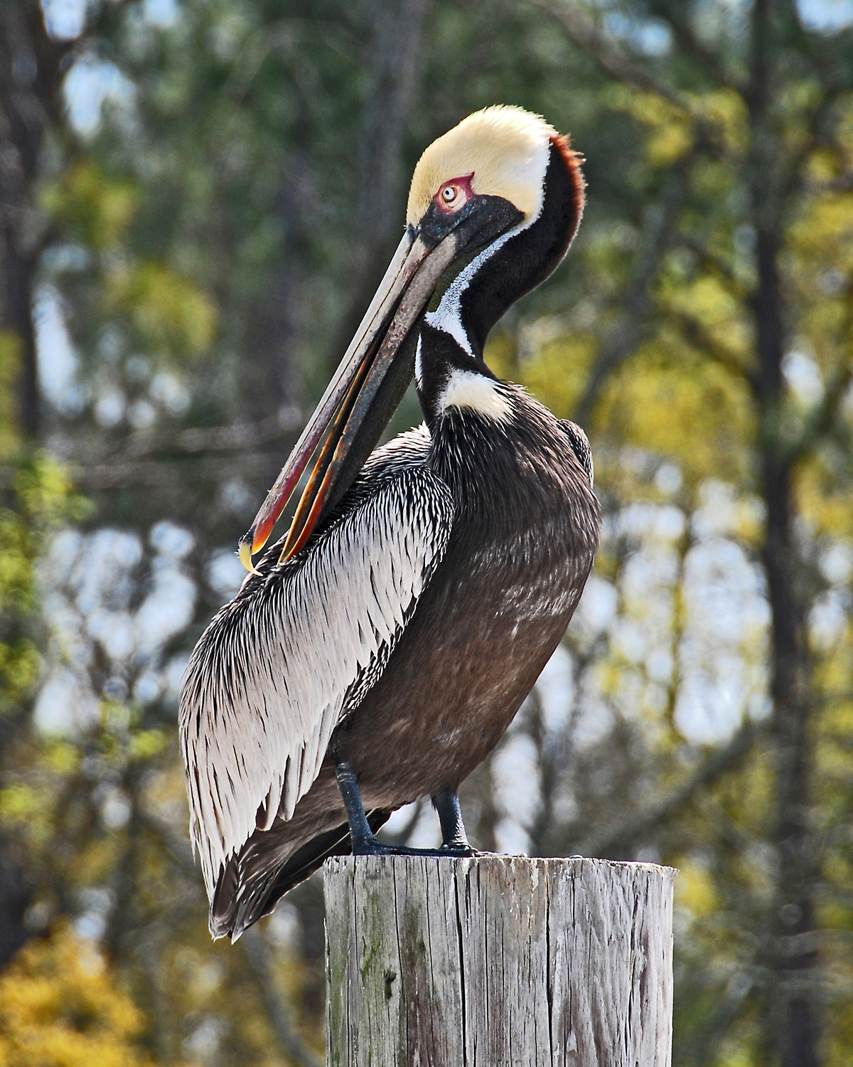 grandpaw's image thread-pelican-pole-item-2303270810-1028355375-o.jpg