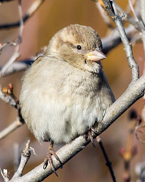 Woody's 2016 Wildlife, Nature and Other Stuff.-housesparrow-110.jpg