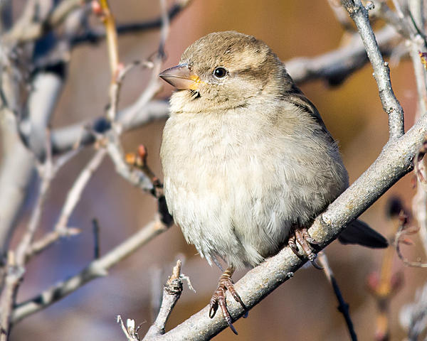 Woody's 2016 Wildlife, Nature and Other Stuff.-housesparrow-111.jpg